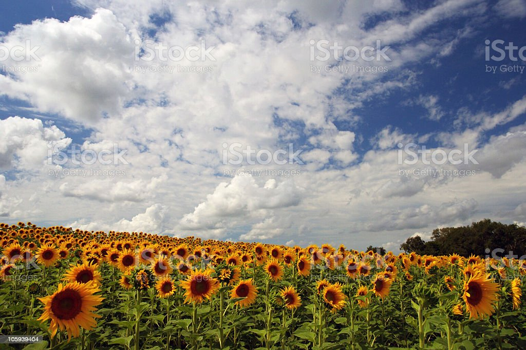 Alluring Field of sunflowers royalty-free stock photo