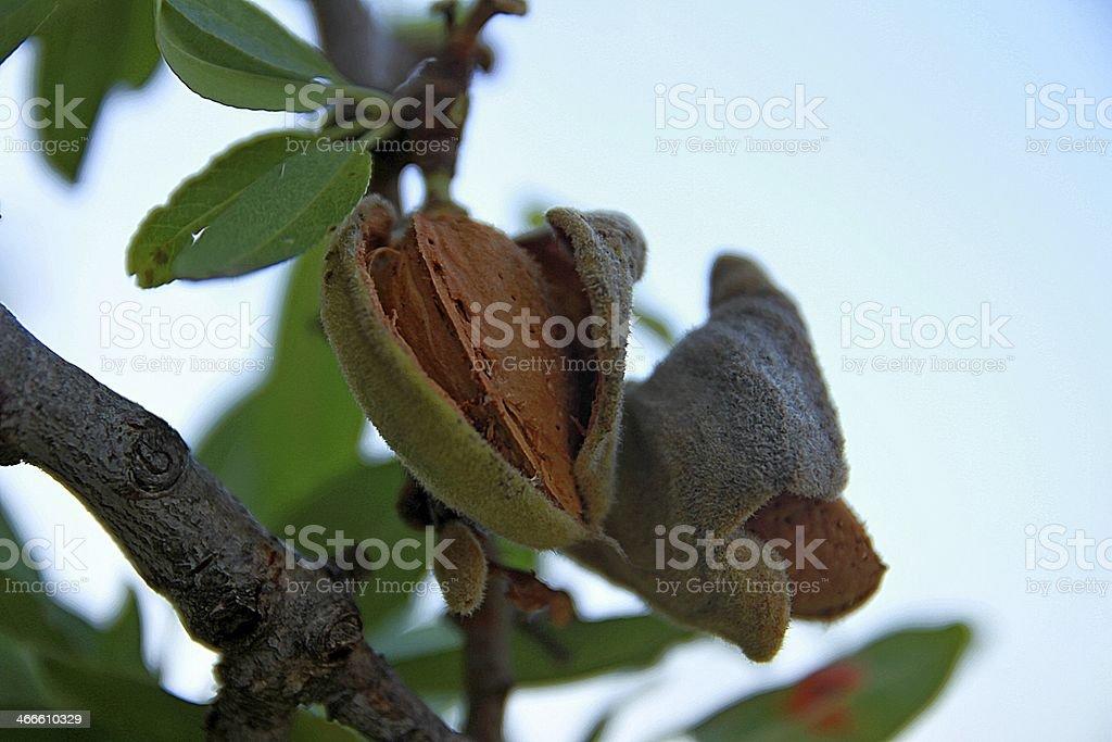 Almendra en una rama de un ?rbol stock photo