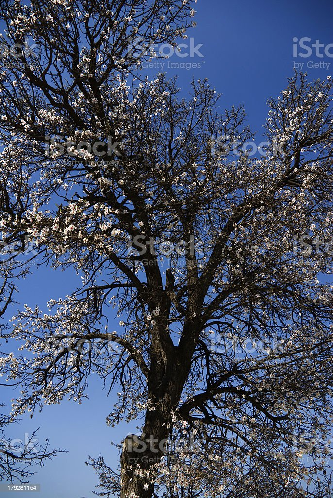 Almendro en flor royalty-free stock photo