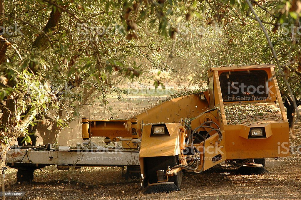 Almond at the harvest time stock photo