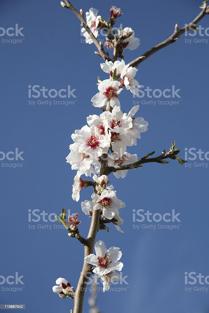 Almond blossom close-up royalty-free stock photo