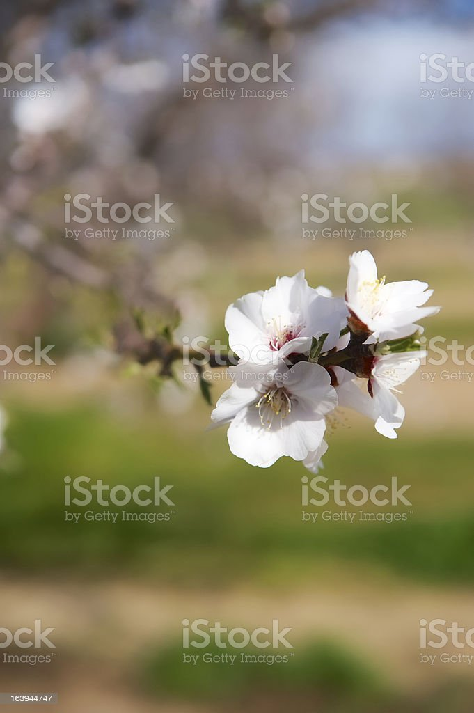 Almond blossom closeup royalty-free stock photo
