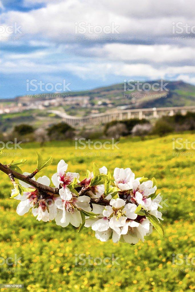 Almond Kwiecie w Agrigento zbiór zdjęć royalty-free