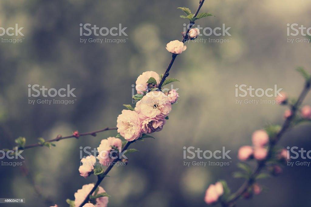 Flor de almendras foto de stock libre de derechos