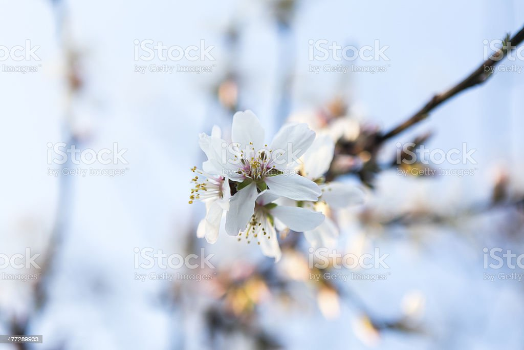 almond blossom royalty-free stock photo