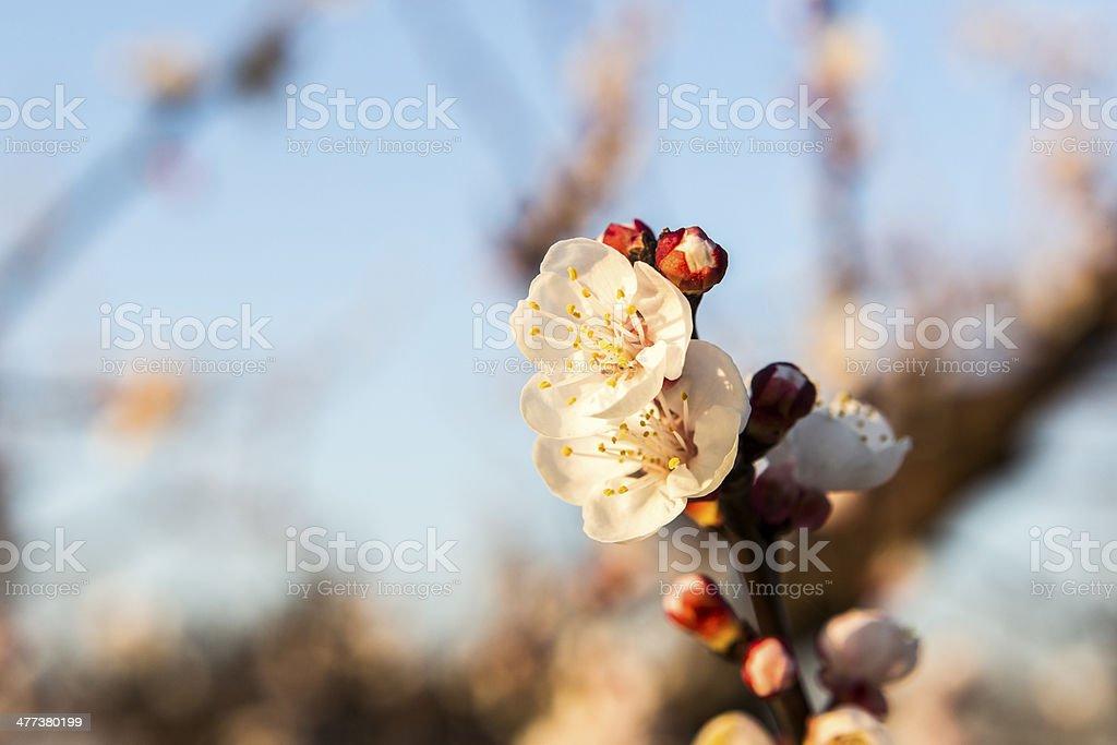 almond blossom royalty-free stock photo