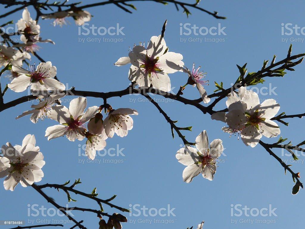 Flor de almendro stock photo