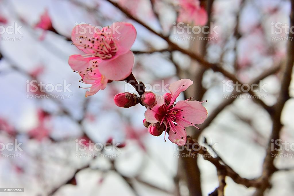 Almond Blossoms in Spring stock photo