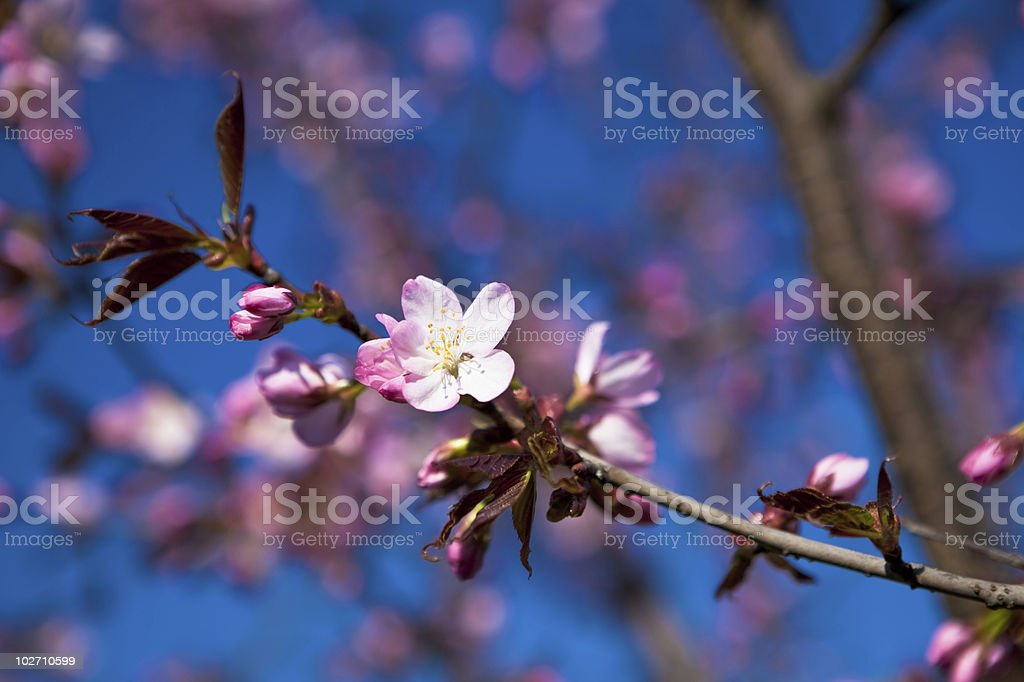 Almond blossoms royalty-free stock photo