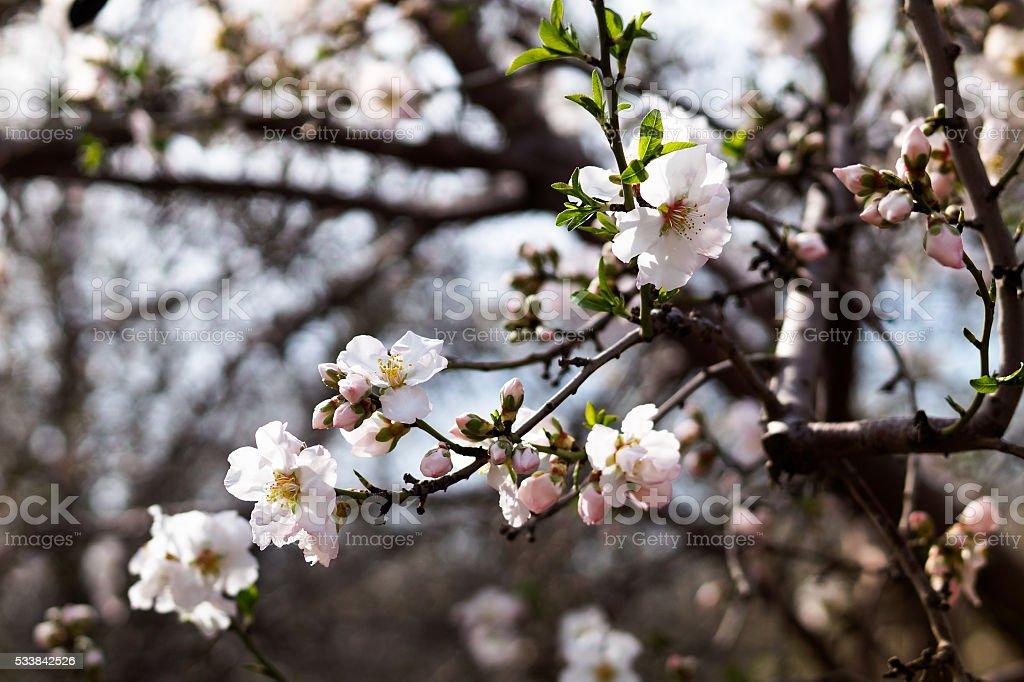 Almond Blossoms stock photo