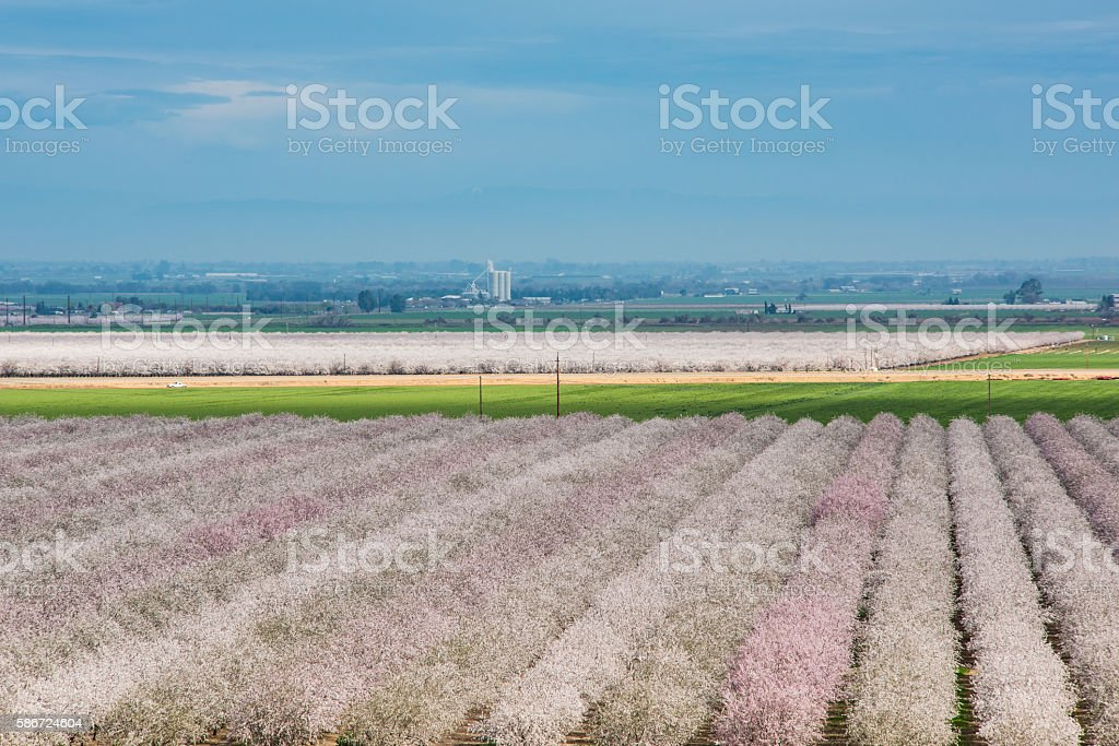 Almond Farm pink blooming in northern California spring stock photo