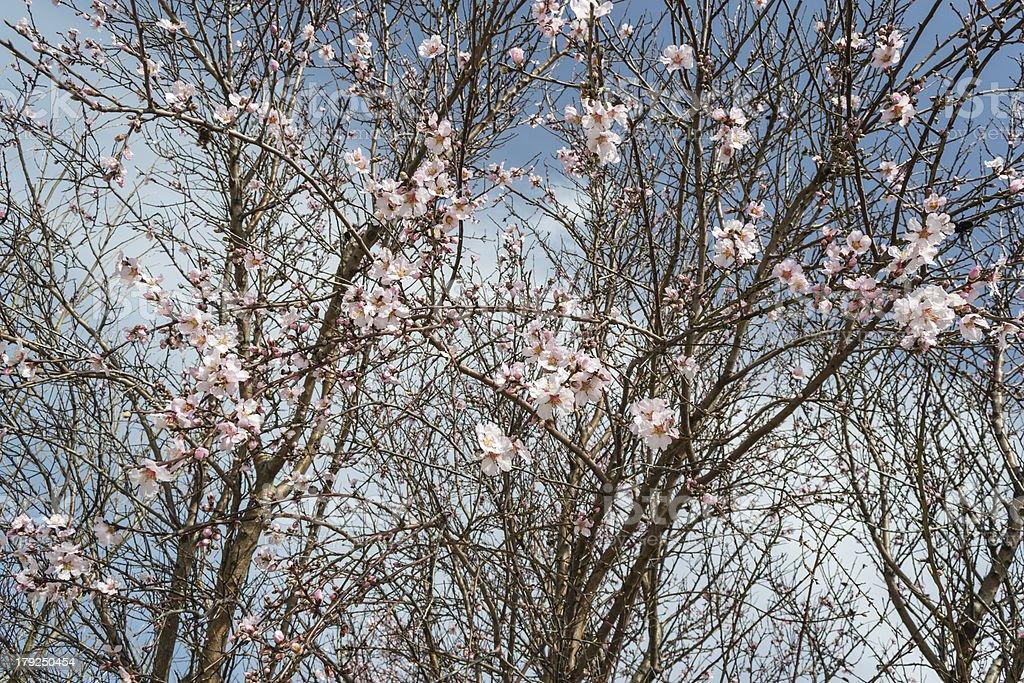 almond flower royalty-free stock photo