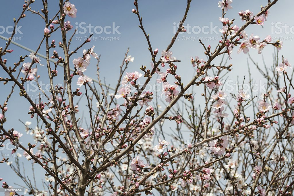 almond flower royalty-free stock photo