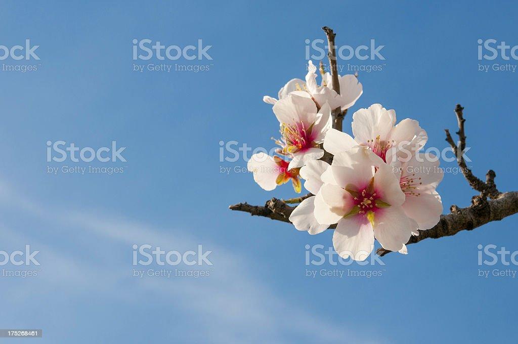 Almond Flowers royalty-free stock photo