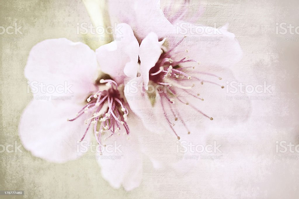 Almond flowers royalty-free stock photo