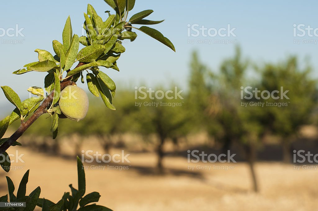 Almond fruit on the branch stock photo