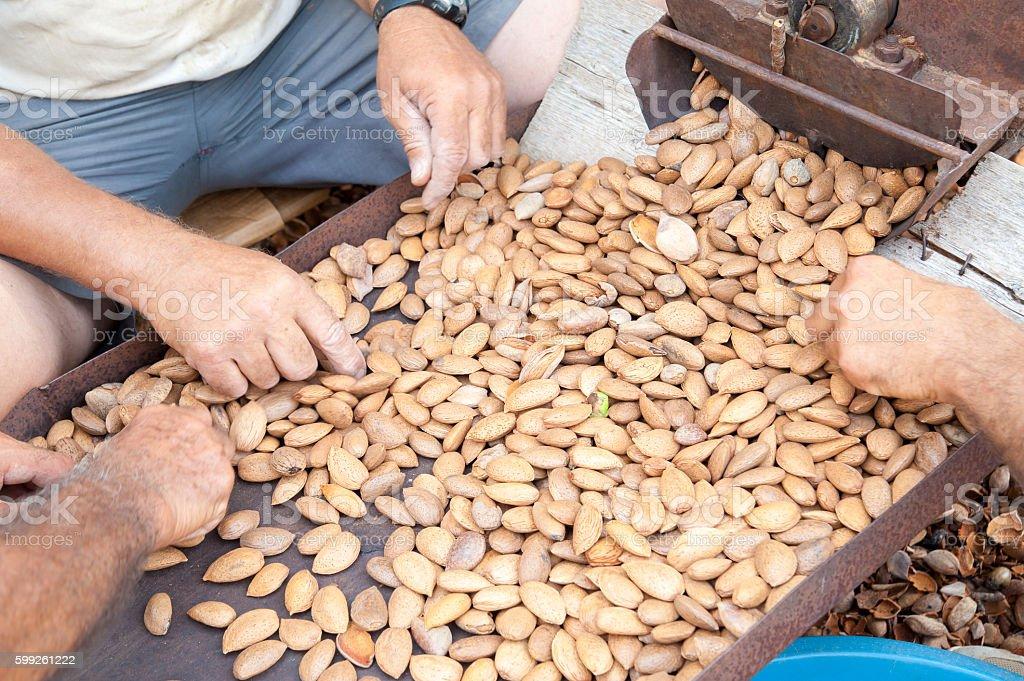 Almond harvest time stock photo