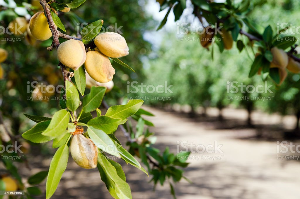 Almond nuts growing on a tree at a farm in California stock photo