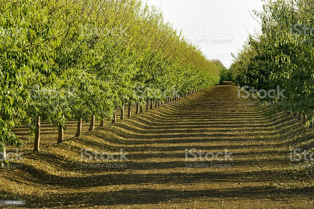 Almond Orchard, Central Valley, California royalty-free stock photo