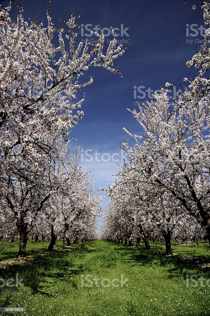 Almond Orchard In Bloom royalty-free stock photo