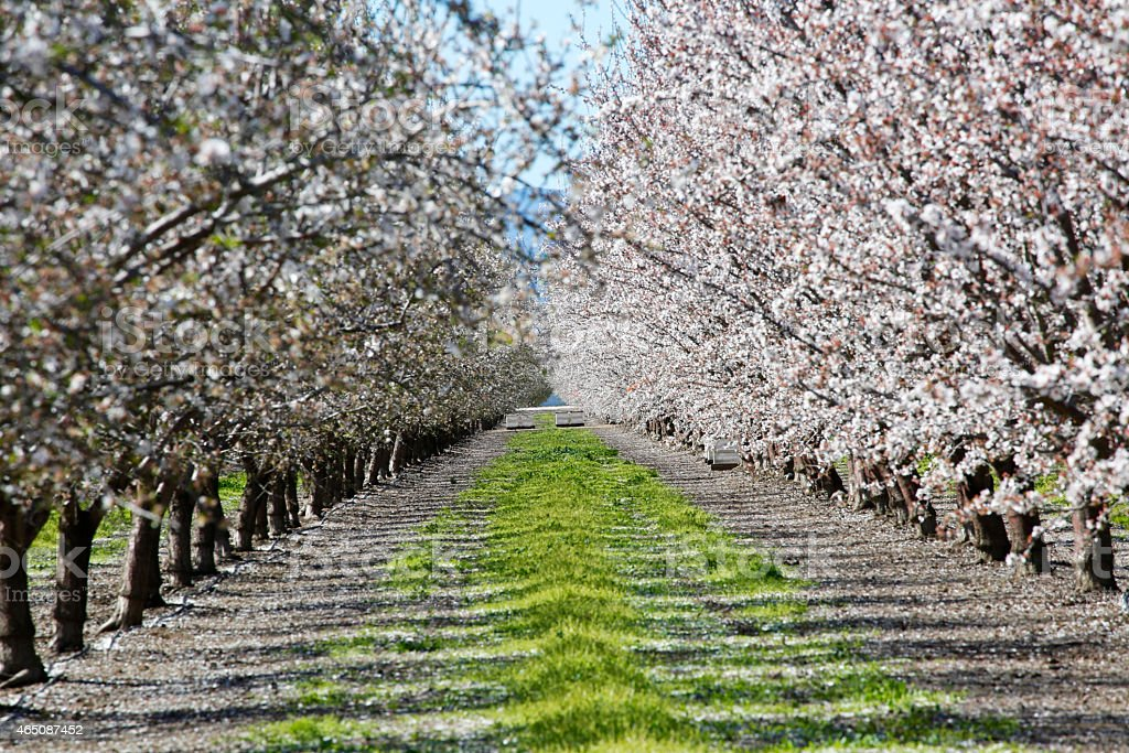 almond orchard in bloom stock photo