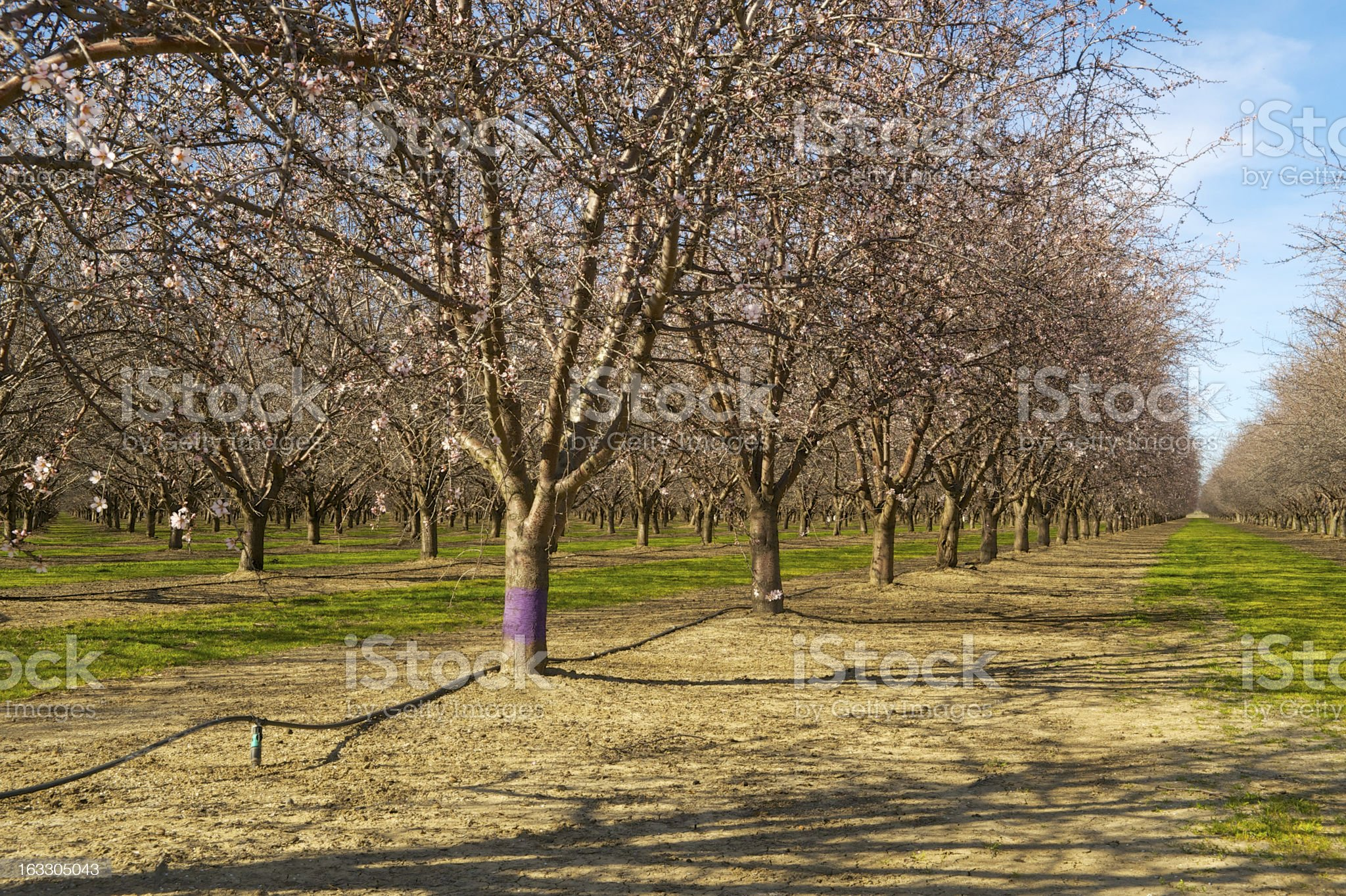 Almond orchard just prior to bloom royalty-free stock photo