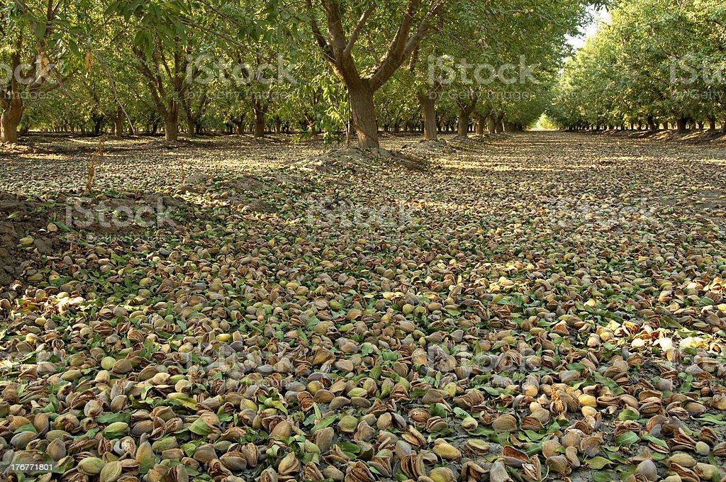 Almond Orchard Nuts royalty-free stock photo