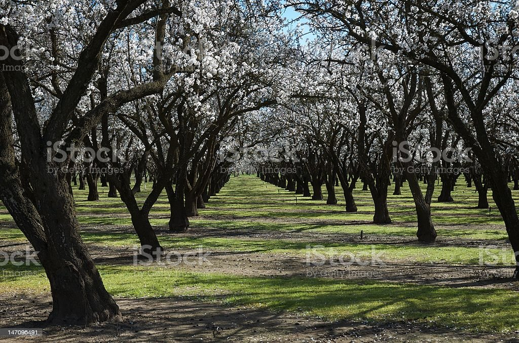 Almond Orchard royalty-free stock photo
