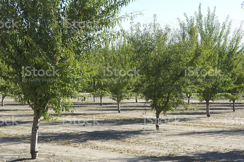 Almond Orchard With Fruit on Trees royalty-free stock photo
