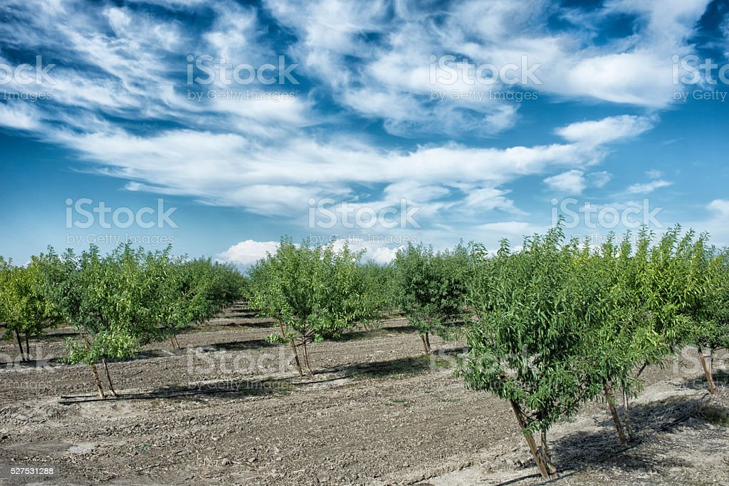 Almond Orchard With Ripening Nuts on Trees stock photo