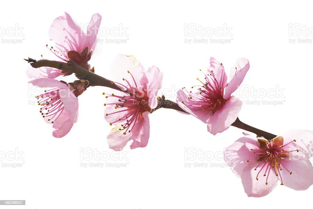Almond pink flowers stock photo