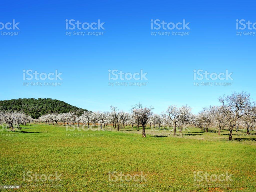 Almond plantation stock photo