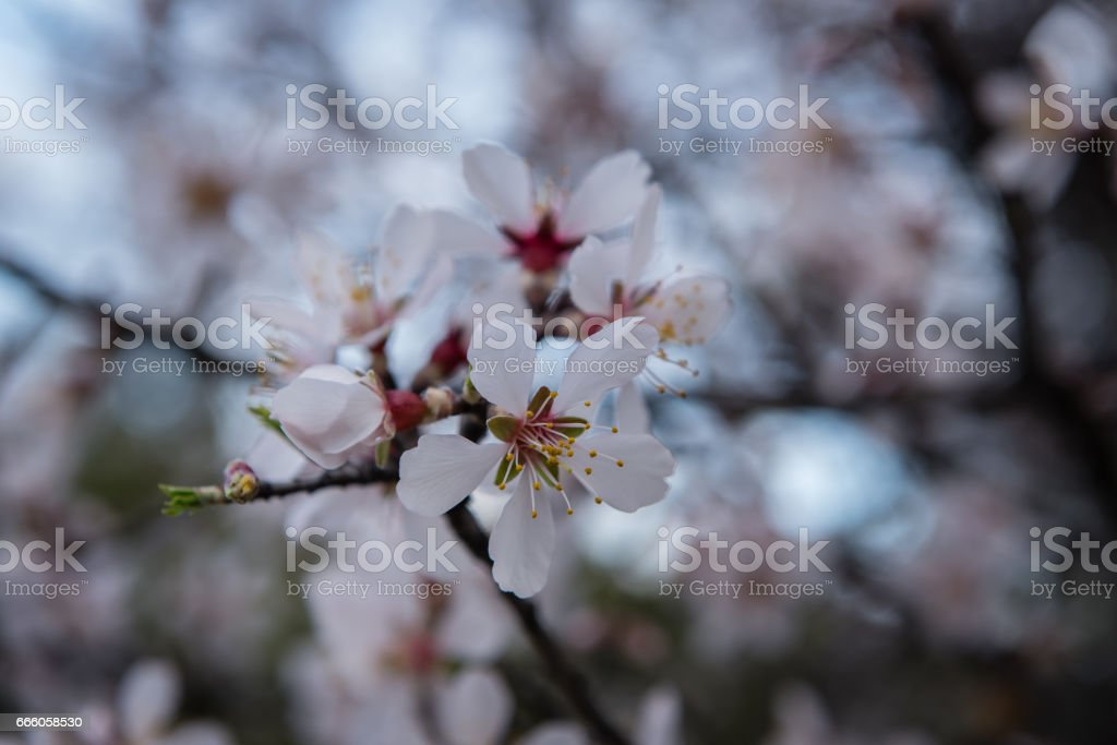 almond tree blossoms in spring stock photo
