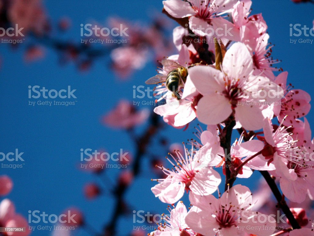 almond tree flower 2 royalty-free stock photo