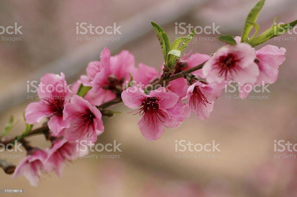 Almond tree flower royalty-free stock photo