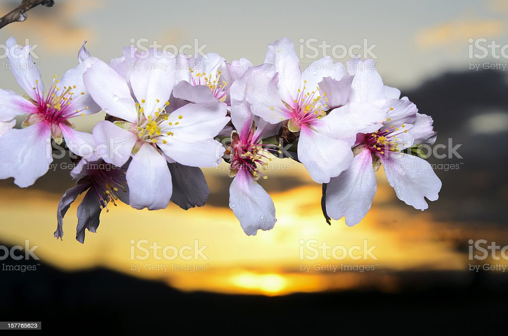 Almond tree flowers at sunset royalty-free stock photo
