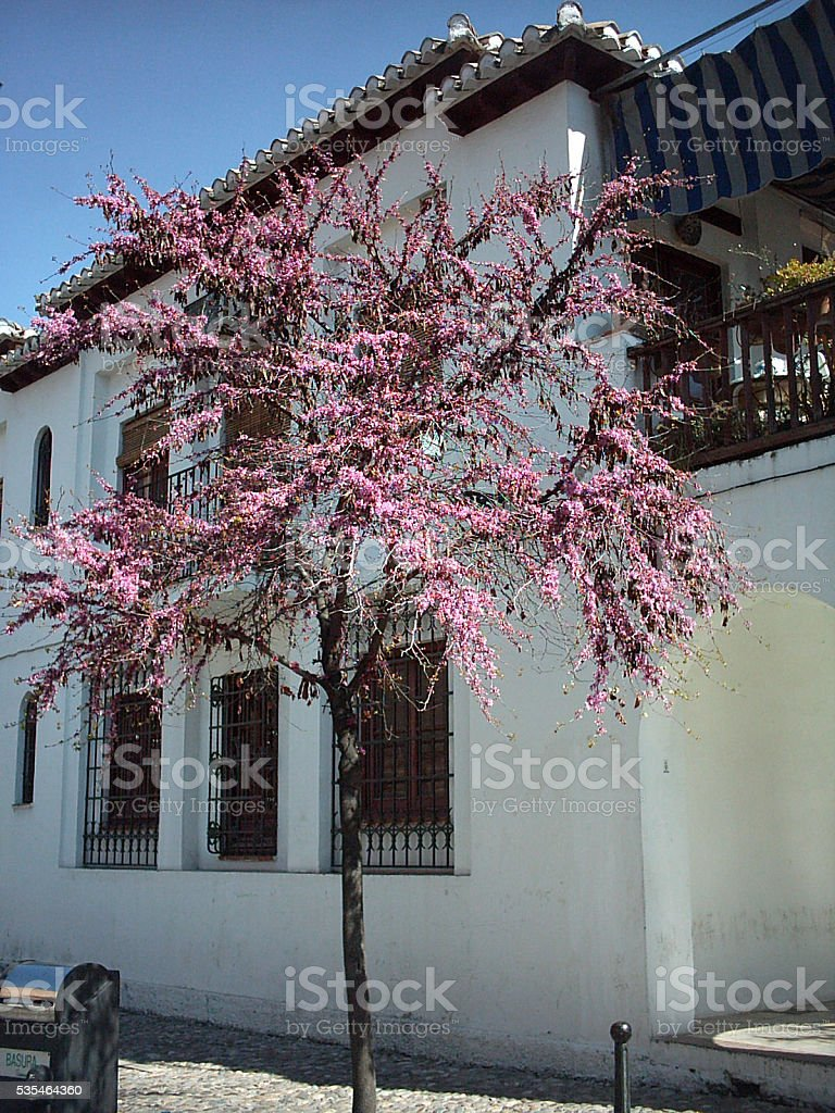 Almond tree in a street stock photo