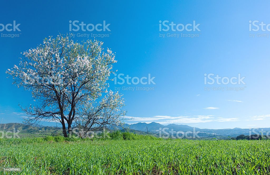 Almond Tree in blossom royalty-free stock photo