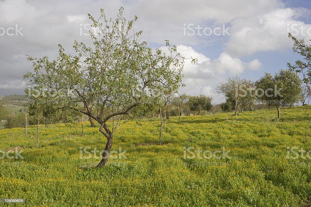 Almond tree royalty-free stock photo