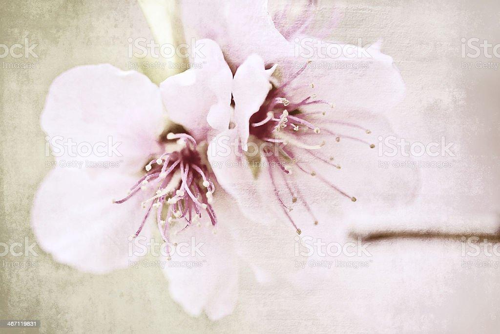 Almond tree. royalty-free stock photo
