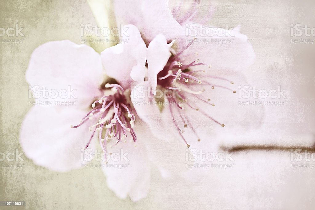 Almond tree. stock photo