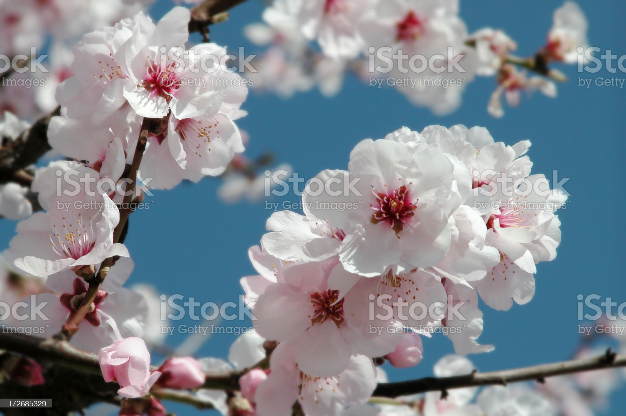 Almond tree [Prunus dulcis] royalty-free stock photo