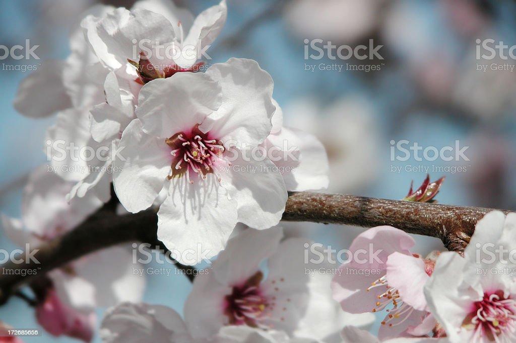 Almond tree [Prunus dulcis] royalty-free stock photo