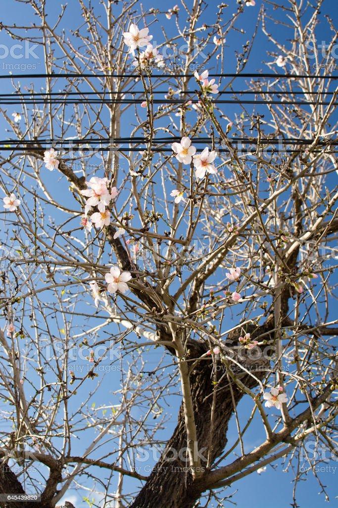 Almond trees blossom stock photo