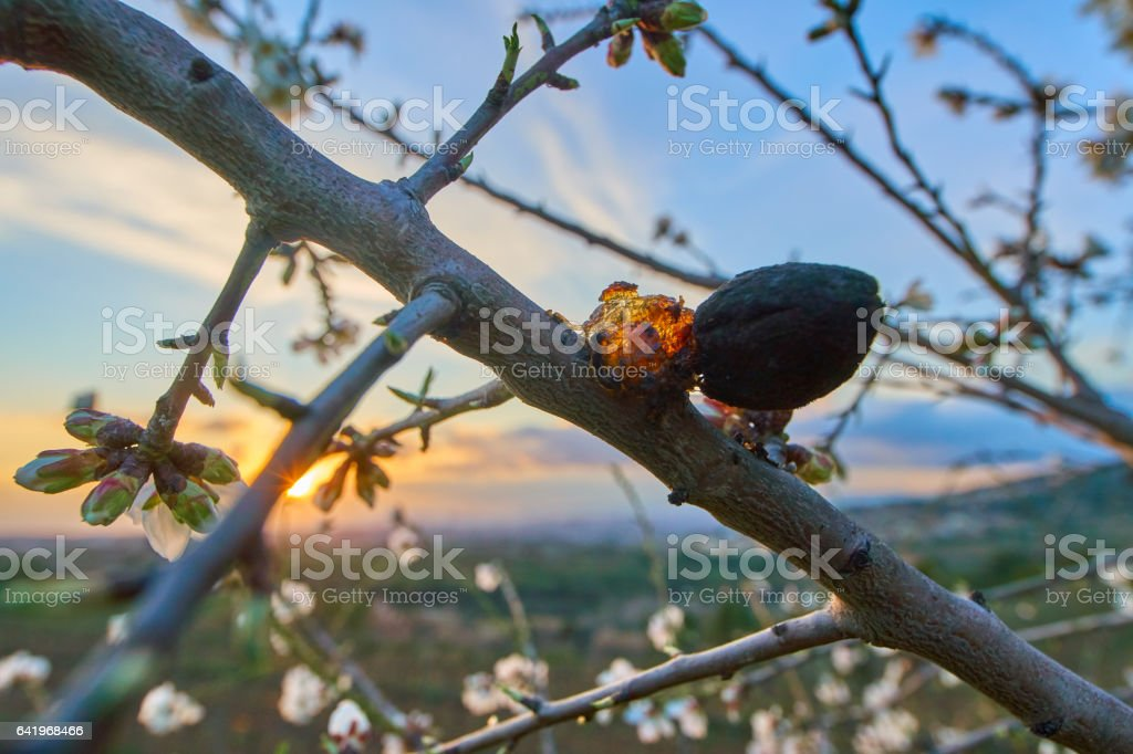 Almond trees blossoms in Sunset light stock photo