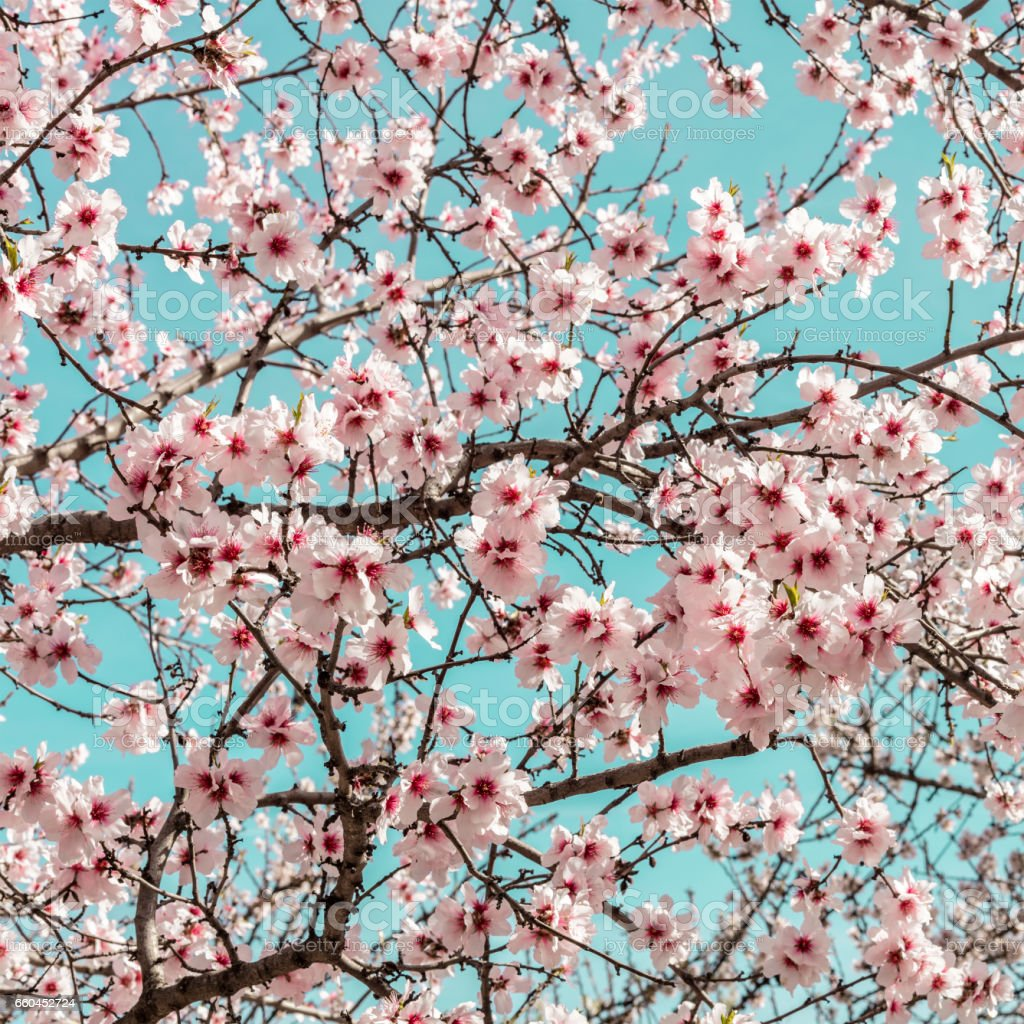 Almond trees in bloom in Spain stock photo