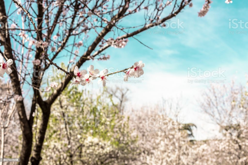 Almond trees in bloom in Spain, selective focus stock photo