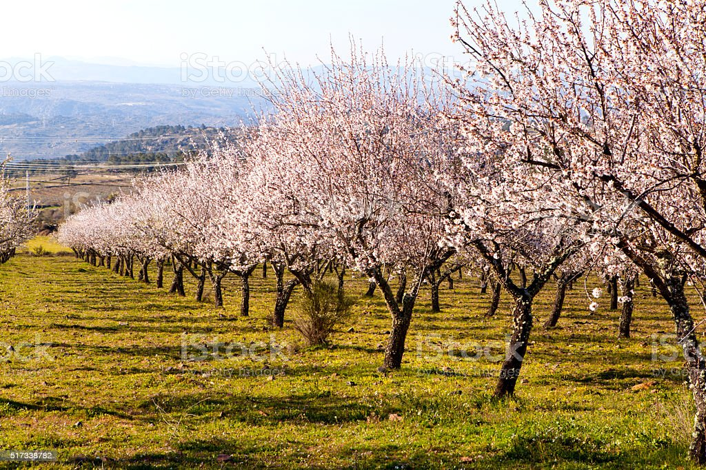 Almond Trees in Bloom stock photo