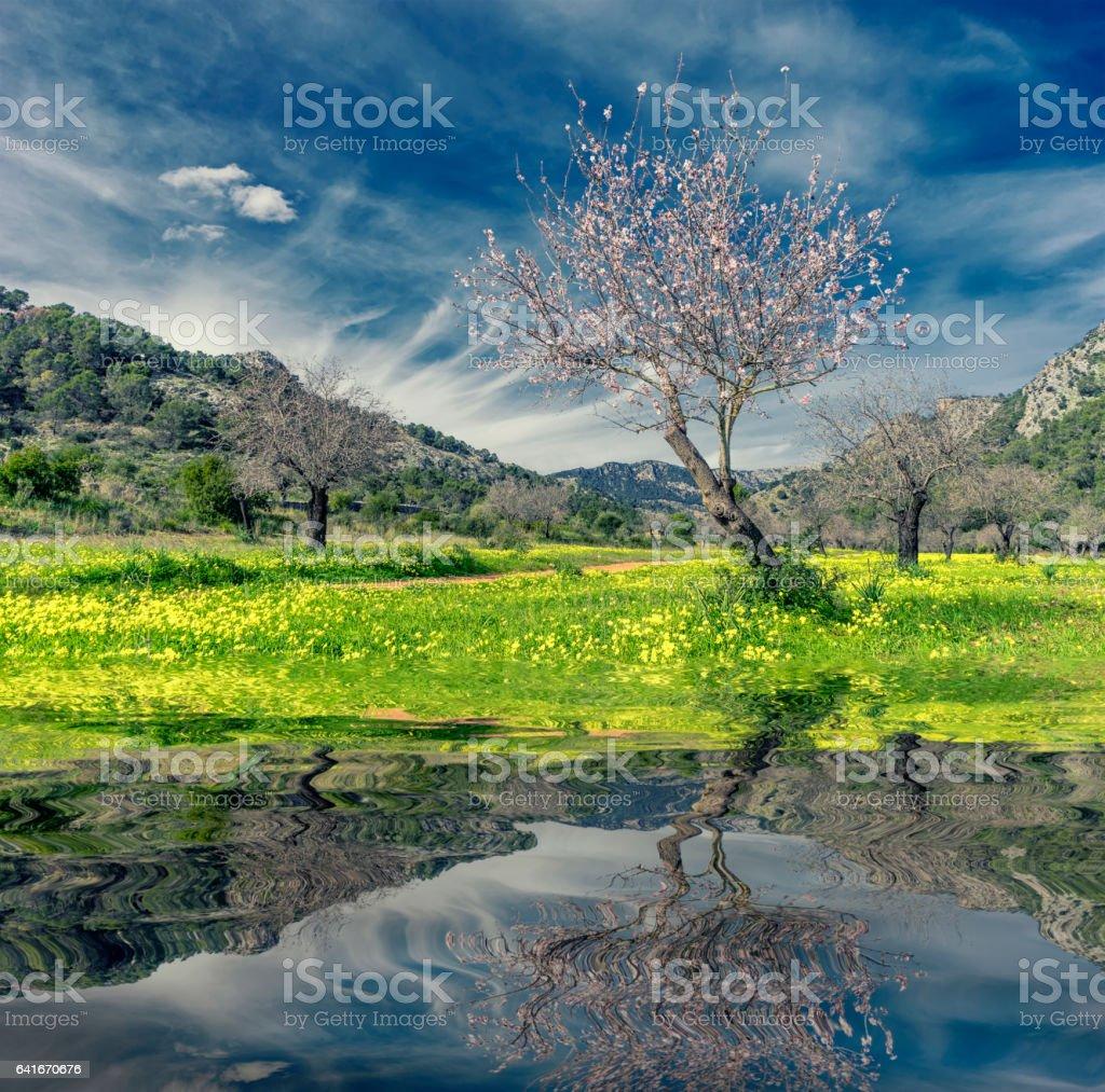 almond trees stock photo