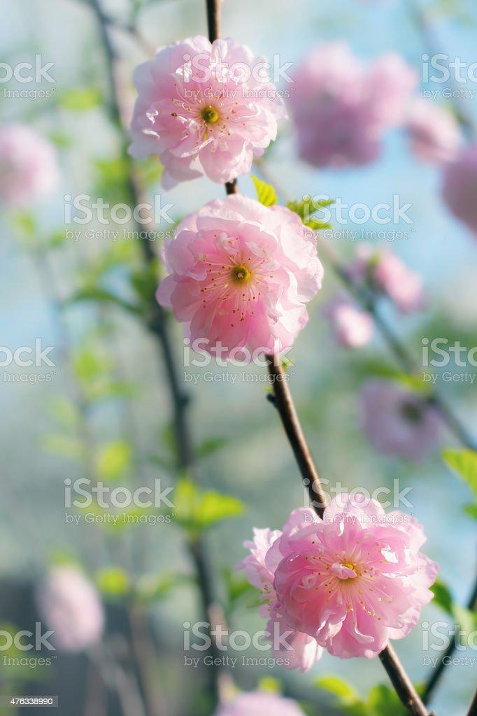 Almendra.   Bloom foto de stock libre de derechos